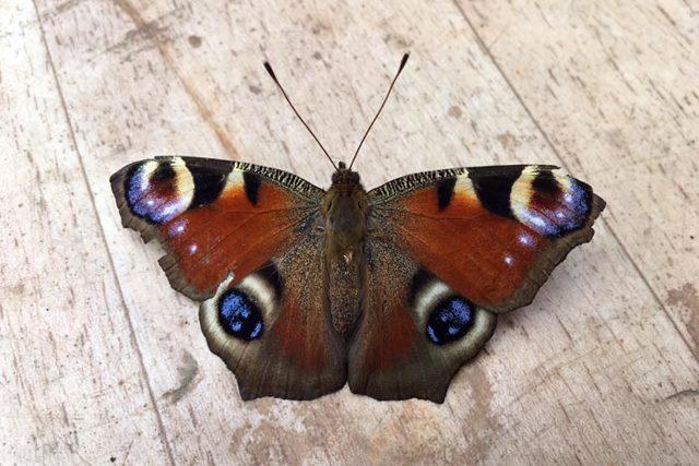 Бабочка залетела в дом: примета и ее значение