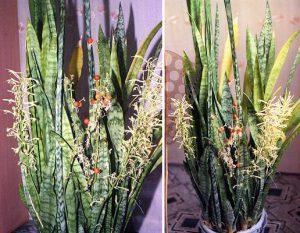 Цветок тещин язык: приметы и суеверия, можно ли держать дома