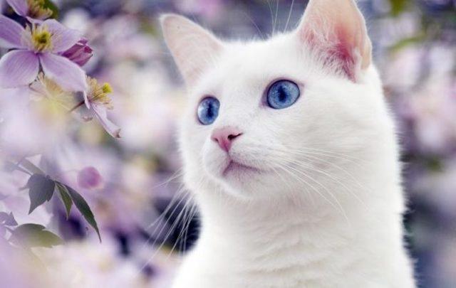 Белая кошка в доме: разные толкования примет