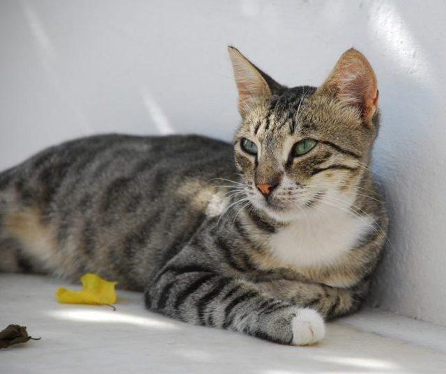 Трехцветная кошка в доме: примета, приносящая счастье