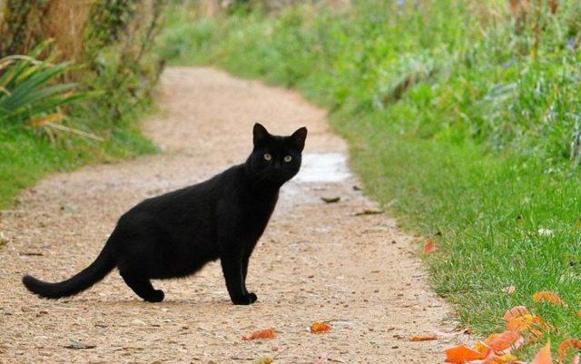 Черная кошка перебежала дорогу: не повезет или будет удача