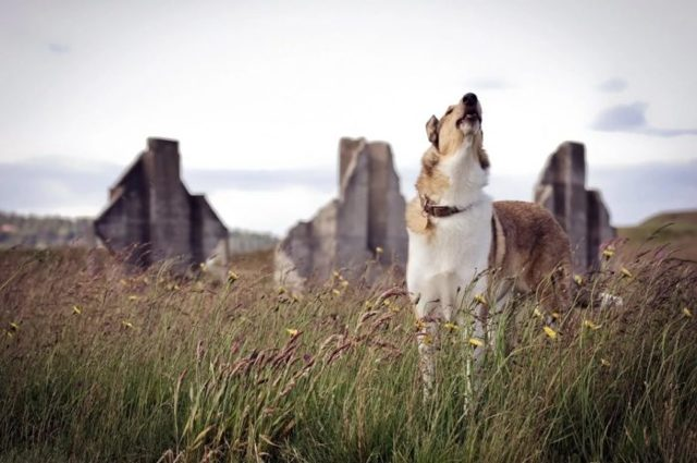 К чему воет собака: причины поведения, толкование приметы, сны с животными