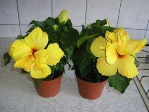 Китайская роза в доме: можно ли выращивать гибискус