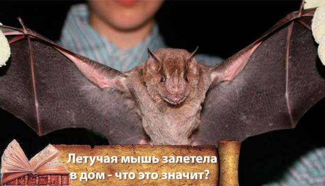 Летучая мышь залетела в квартиру: неоднозначная примета